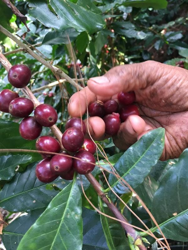Kaffeebauer in Peru PachaMama