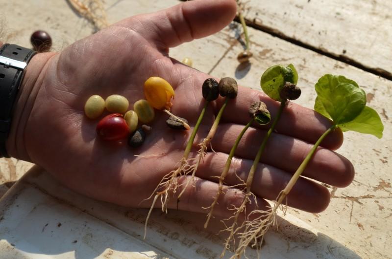 Bio Kaffee Bolivien online kaufen
