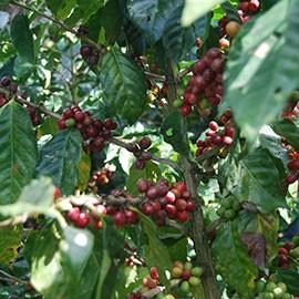 Bio Espresso Honduras kaufen