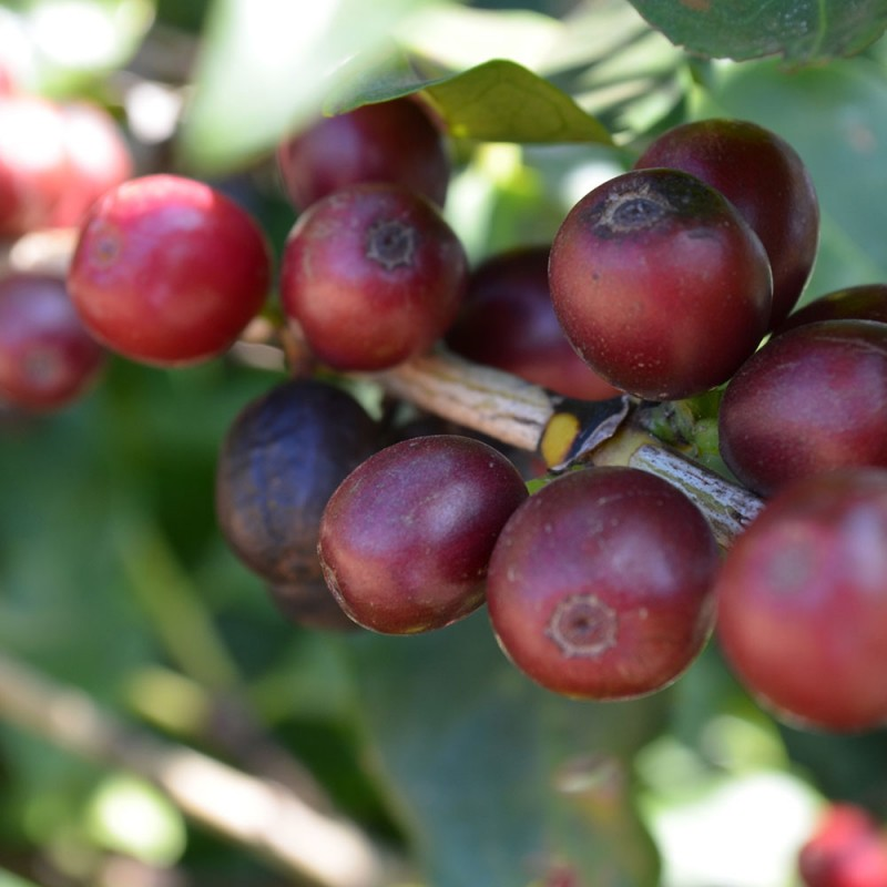 Martermuehle-Kaffeekirschen-rot