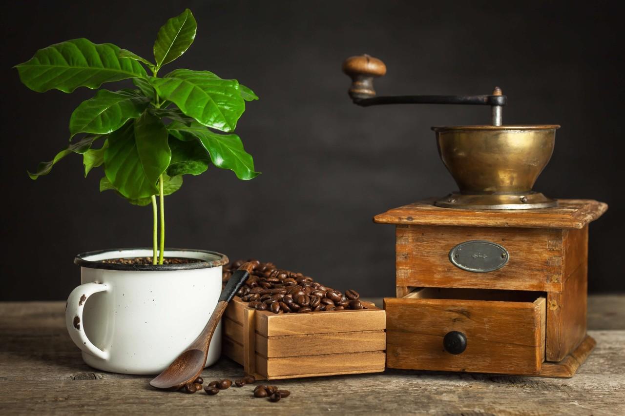Kaffeepflanze-zuhauselcZpcwOesj5dK