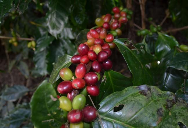 https://www.martermuehle.de/media/image/ff/68/ee/Arabica-Kaffee-Guatemala-LampocoyrAOtImCpTIDuA.jpg