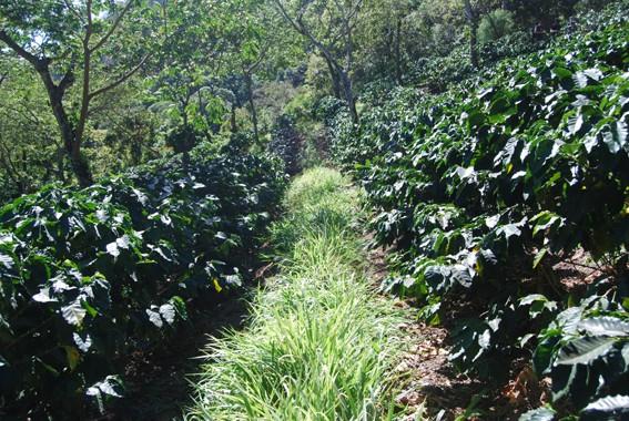 Kaffeeanbau-biologisch