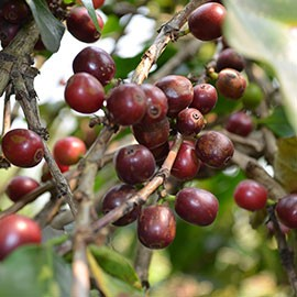 Kaffeekirschen an Baum