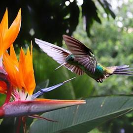 Fliegende Kolibris.