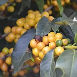Espresso Robusta Gelbe Kaffeekirschen