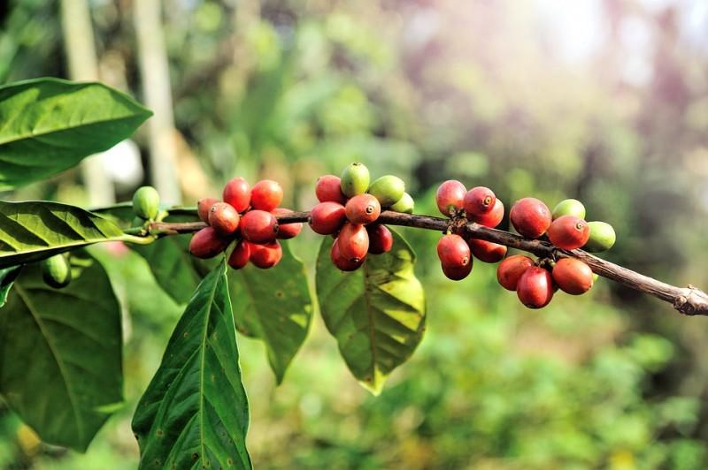 Bio Kaffee Mexiko Entkoffeiniert kaufen
