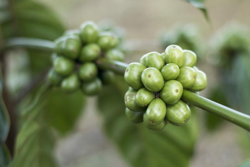 Bio Kaffee Mexiko entkoffeiniert