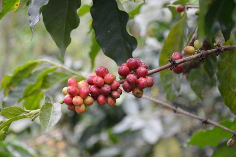 Kaffeekirschen des Weinachtskaffees