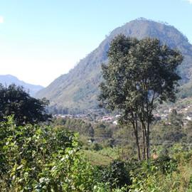 Baum in Guatemala