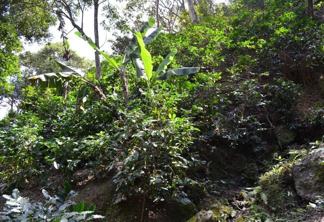 https://www.martermuehle.de/media/image/60/a9/35/Guatemala-Lampocoy-Kaffeeplantage-MikrolotUUWRGRS7VTt3l.jpg