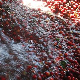 Bio Kaffee Peru online kaufen